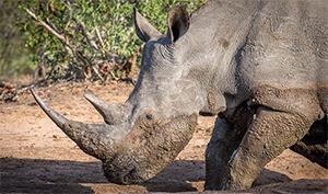Rhinocéros blanc en Afrique du Sud. (Photo: Josef Senn, WSL)