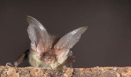 Brown Long-eared Bat. Photo: Stiftung Fledermausschutz